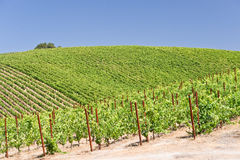 Summer in Wine Country. Patterns of a hillside vineyard in California royalty free stock image