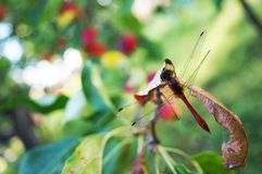 Dragonfly on an apple tree branch royalty free stock photo