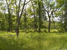 Summer Woods Royalty Free Stock Image
