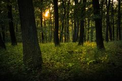 Summer woods with a close tree. Summertime in forest with sun rays shining through the foliage Royalty Free Stock Photography