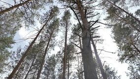 Summer in the woods tall pines slow motion video. View high trunks of pines in coniferous forest in the summer the slow motion video stock video