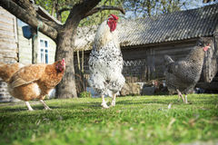 In the summer in the yard with chicken rooster pecking grain. Cl. In the summer in the village courtyard with chicken rooster pecking grain. Close-up stock photo