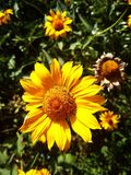 Summer yellow beautiful flower royalty free stock photo