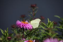 Summer yellow butterfly garden flowers Royalty Free Stock Photo