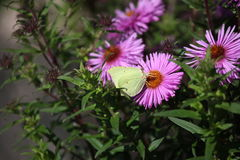 Summer yellow butterfly garden flowers Royalty Free Stock Images