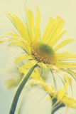 Summer Yellow daisies Stock Photo
