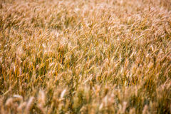Summer yellow field of wheat ready to be harvested. Royalty Free Stock Photos