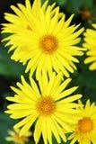 Summer yellow flowers Doronicum Royalty Free Stock Photo