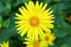 Summer yellow flowers Doronicum Stock Photos