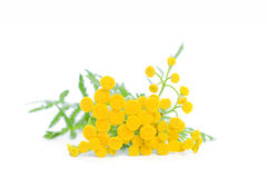 Summer Yellow Flowers Tansy. On White Background stock images