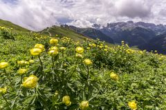 Summer yellow flowers Trollius altissimus in the Dolomites. It Royalty Free Stock Images