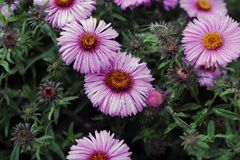 Asters in the rain in summer stock images