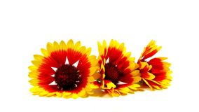 Summerflower Trio Royalty Free Stock Photos