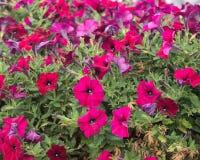 Summerific berrylicious hardy hibiscus. In the botanic garden Stock Photos