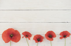Summerly corn poppy. Corn poppy on white wooden boards Royalty Free Stock Photography