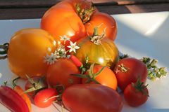 Summerly Harvest 7. Variety of tomatoes on a plate in the evening sun Royalty Free Stock Image