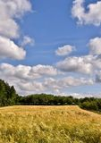 Summers Day. Landscape with a cornfield and blue sky on a summers day Stock Image