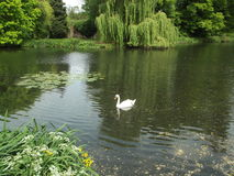 A Summers Day. A Swan On A Summers Day Stock Photography