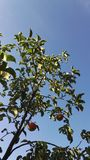 Summers sky. Last summers fruits Royalty Free Stock Photos