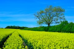 A bright colourful flower landscape. A field of flowering rapeseed Royalty Free Stock Image