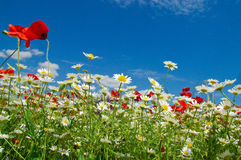 Summertime. Sunlit flowers on the summer meadow Royalty Free Stock Photos