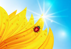 Summertime. Sunflower with dew and ladybug Stock Image