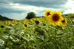 Summertime. There is a sunflower field in Hungary. In mid summer Stock Images