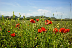 Summertime -. Poppies in a field, summertime royalty free stock photography