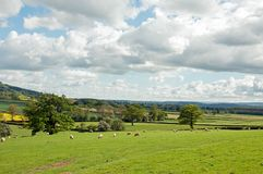 Summertime agricultural landscape and some sheep in the British countryside. A rural summertime landscape scene with clouds and blue skies and sheep in the Stock Photos