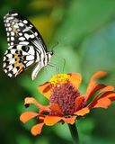 Summertime. Butterfly Sips Nectar during summertime Stock Photography