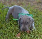 Summertime Dane puppy Royalty Free Stock Photos