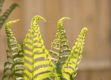 Summertime ferns in direct sun. Ferns looking towards the light in a backyard garden on a sunny day royalty free stock image
