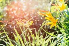 summertime Flores amarelas no jardim do verão Fotos de Stock Royalty Free
