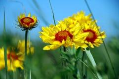 Summertime Gaillardia's. Gaillardia's reaching to the summer sky Royalty Free Stock Image