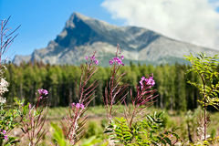 Summertime landscape with Chamaenerion angustifolium known as fireweed against the background of mount the Krivan in mountains H. Igh Tatras in the Slovakia royalty free stock image
