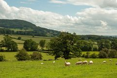 Summertime landscape and some sheep grazing in the British countryside. Royalty Free Stock Photography