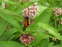 Monarch Butterfly on fragrant pink Milkweed flower. In summertime many kinds of butterflies and bees swarm around the milkweed flowers to feast on the nectar and stock images