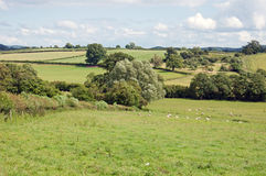 Summertime meadow with some sheep grazing in the British countryside. Royalty Free Stock Images