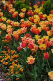 Summertime meadow of yellow and red tulips Stock Photography