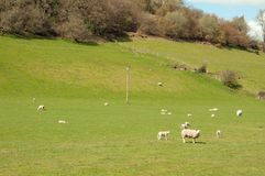 Summertime meadows and sheep in the Herefordshire countryside. royalty free stock photo
