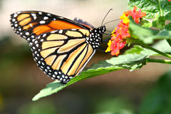 Summertime Monarch Butterfly on a Lantana Flower Stock Images