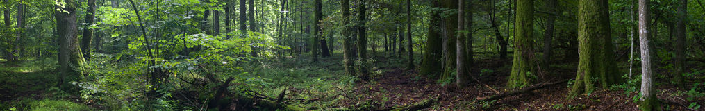 Summertime old rich stand of Bialowieza Forest Royalty Free Stock Photography