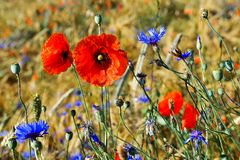 Summertime - Picturesque summerfield with grain, red poppies and blue bottles stock photography