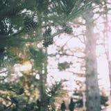 Summertime pine cones stock photos