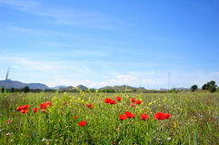 Summertime with poppies. Field at summertime with poppies and wildflowers royalty free stock image