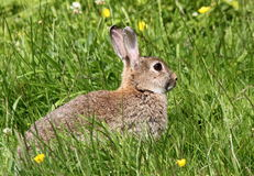 Summertime Rabbit Royalty Free Stock Photography