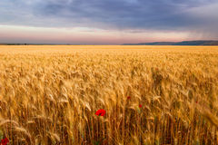 Summertime. Rural landscape: corn field with lone poppy. ITALY(Apulia) Stock Photos