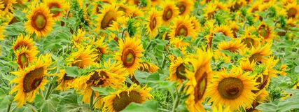 Summertime rural landscape - field of sunflowers. During flowering royalty free stock photos
