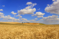 Summertime: rural lanscape .Cornfield topped by clouds.Apulia (ITALY) Royalty Free Stock Photography