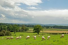 Summertime sheep grazing in a meadow in the British countryside. A summertime meadow in the English countryside Royalty Free Stock Image